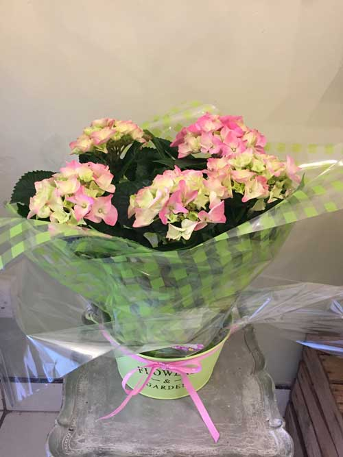 mothers day hydrangea gift