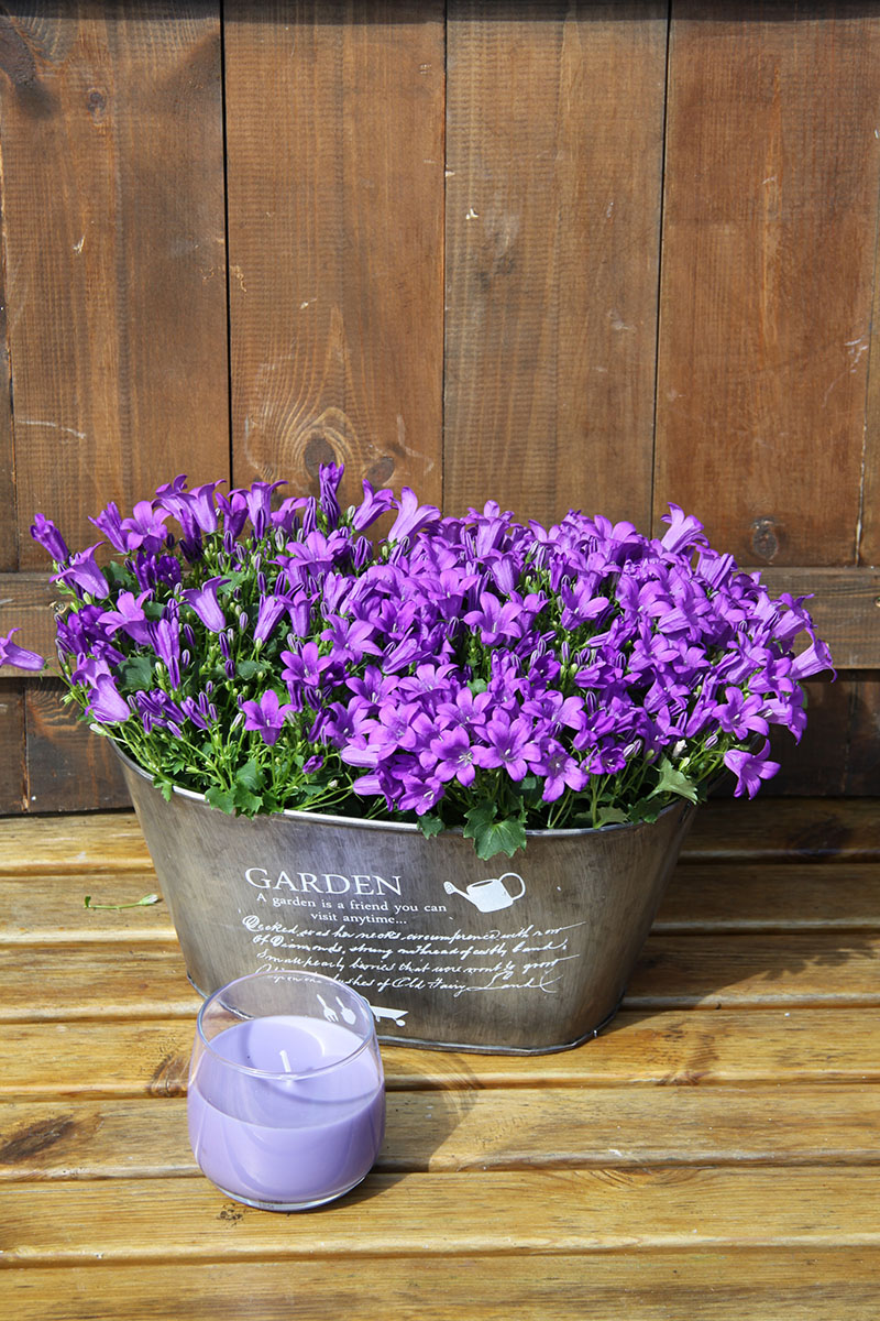 campanula garden with scented candle
