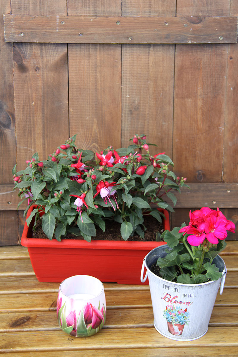 full bloom in pink gift set with fuchsia box pelargonium pot plant and scented candle