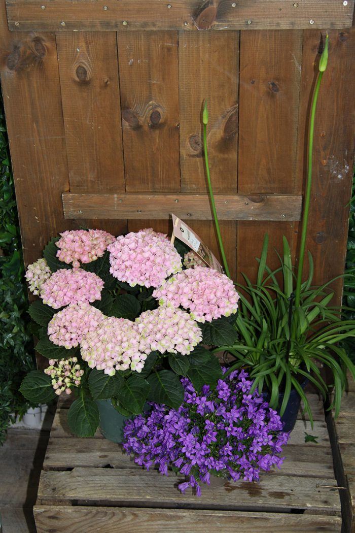 hydrangea, agapanthus and campanula plants