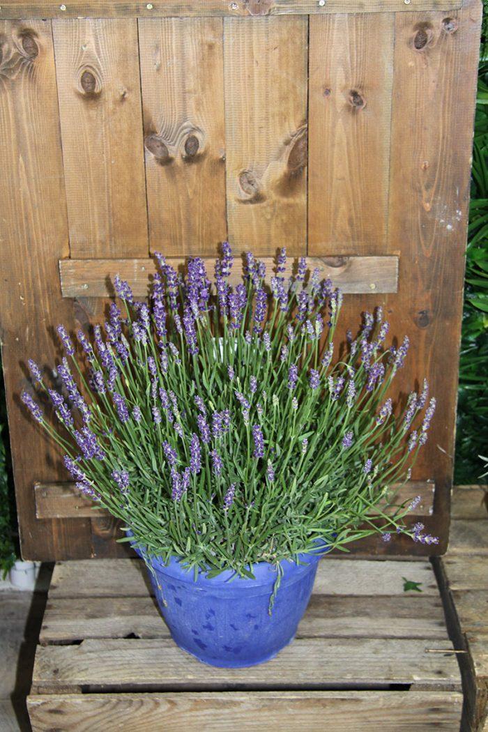 large lavender plant