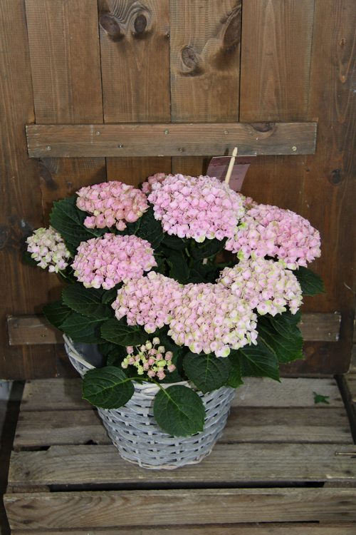 large pink hydrangea plant in wicker basket