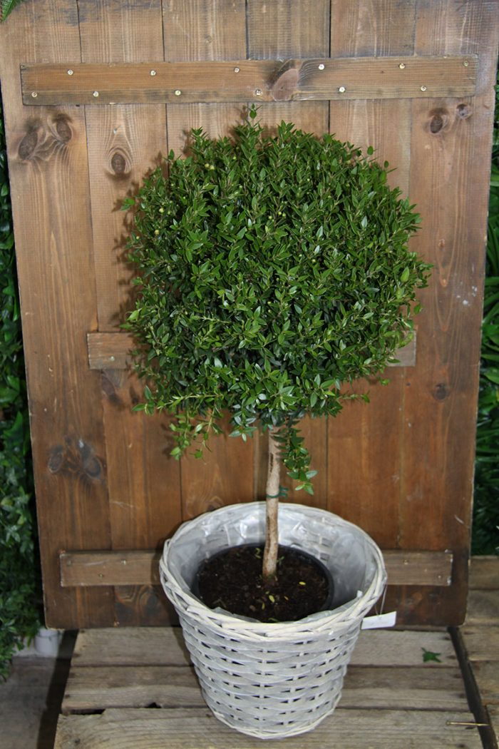 mytrle topiary tree 60cm height