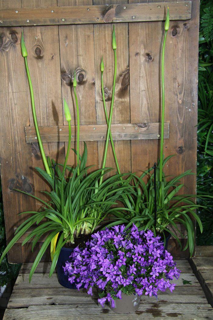 two agapanthus plants and campanula