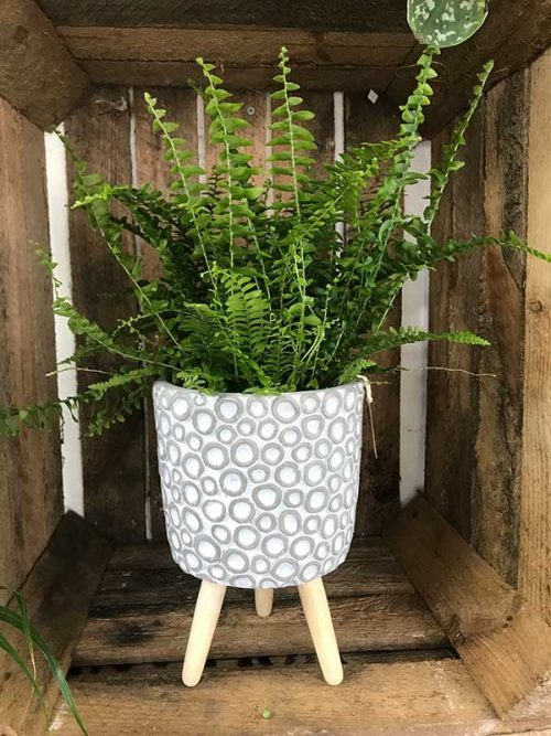 fern in planter