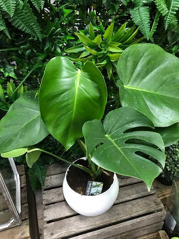 large monsera plant