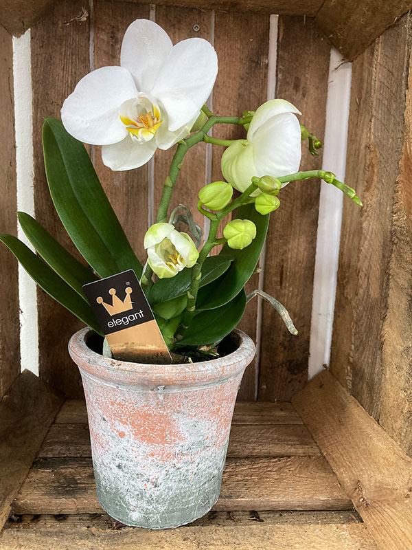 phaleaenopsis orchid
