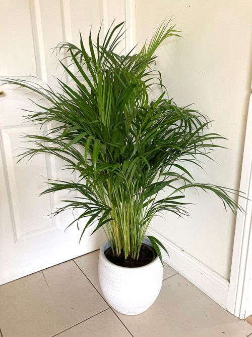 Large dypsis lutescens plant in large pale grey ceramic planter