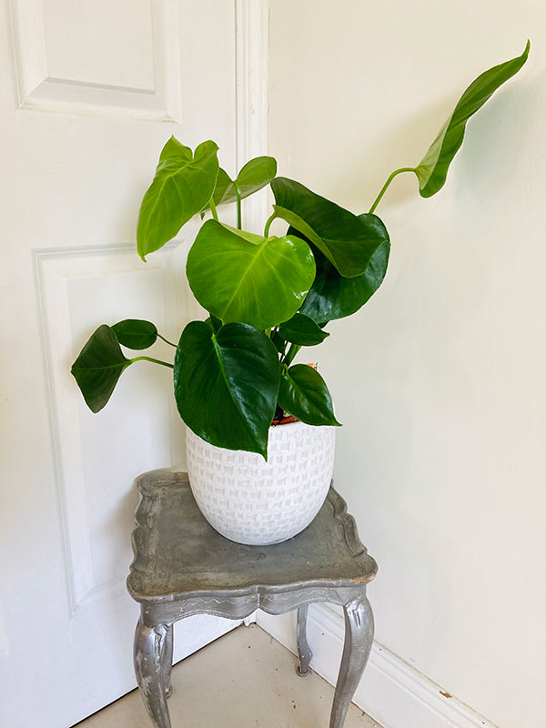 Air purifying Monstera plant