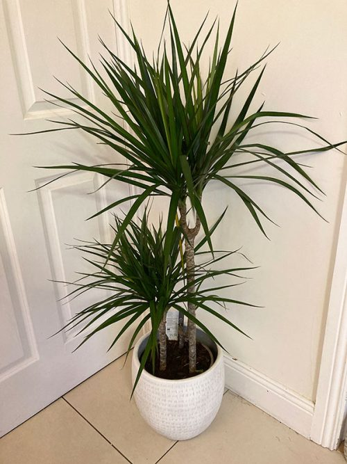 Large air purifying Dracaena Marginala plant
