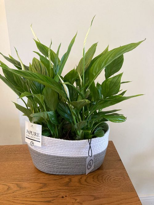 Air purifying peace lily plants in basket planter