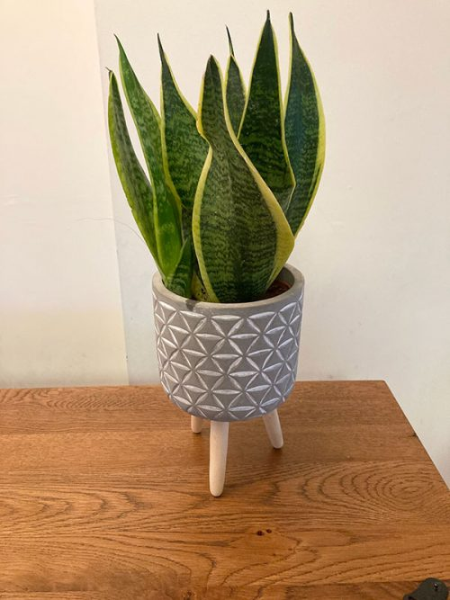 Small air purifying snake plant