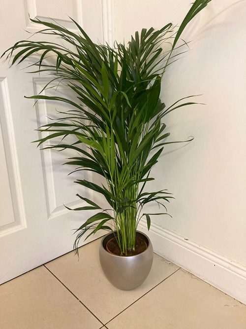 Air purifying dypsis lutescens plant