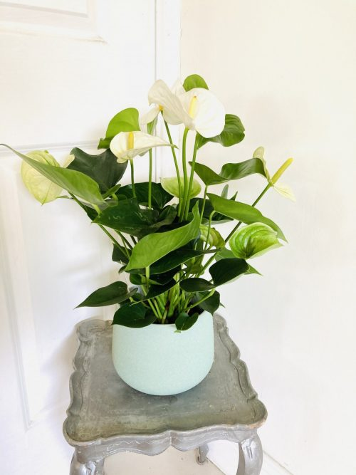 Large anthurium plant in mint green ceramic planter