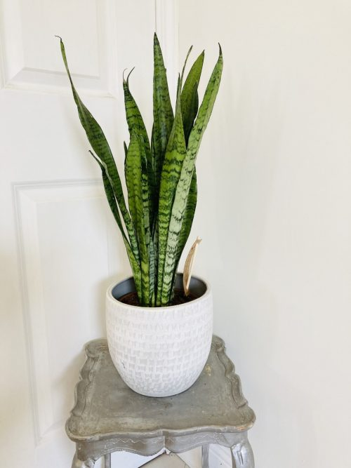 Tall air purifying snake plant