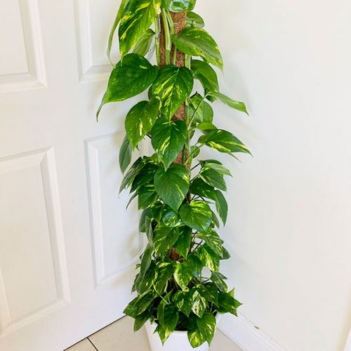 airp urifying indoor plant