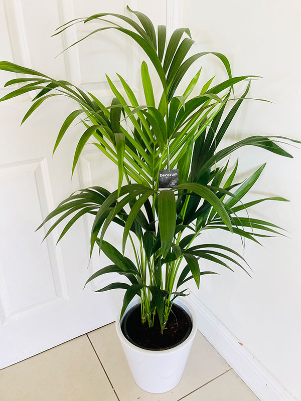 Large howea forsteriana 120 cm tall in ceramic planter