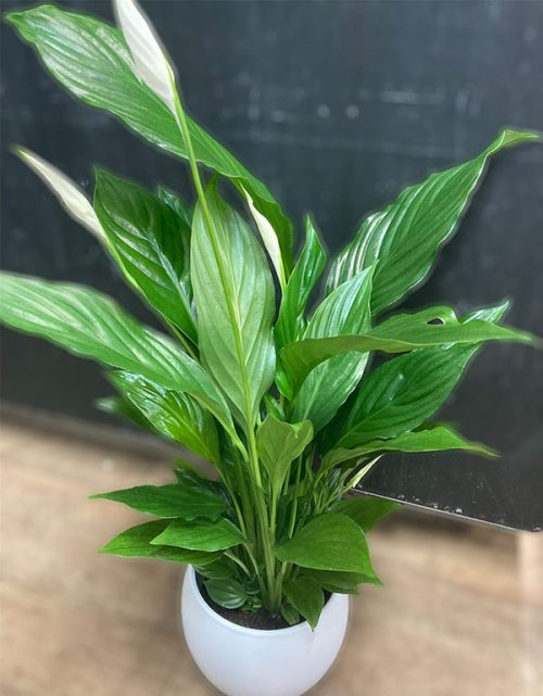 Large peace lily in ceramic pot
